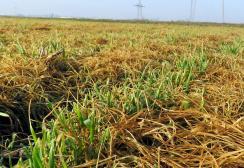 Zöld helyett sárgák a búzaföldek (Kecskés István felvétele)